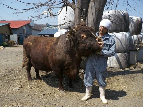 間違いなく1トン近く体重がある闘牛用の短角牛。ちなみに横綱です。こんな猛獣が柿木君にごろごろなついているのだからスゴイ。