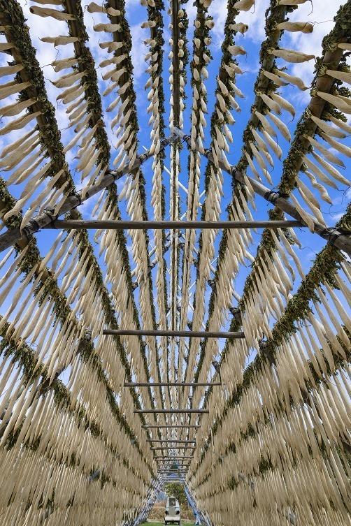 田野町の大根やぐらの下で 1 100メートル級のやぐらに大根を干すと軽く1万本を超える。