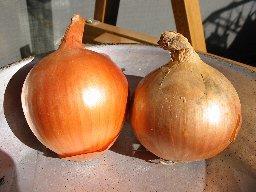 onion00.jpg